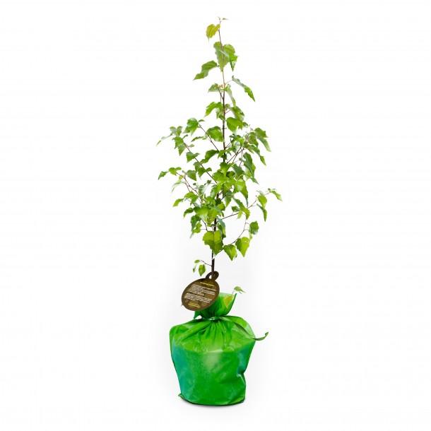 arbre-cadeau - bouleau